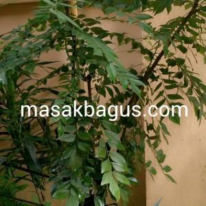 pohon koro keling