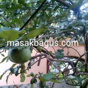 pohon jeruk purut